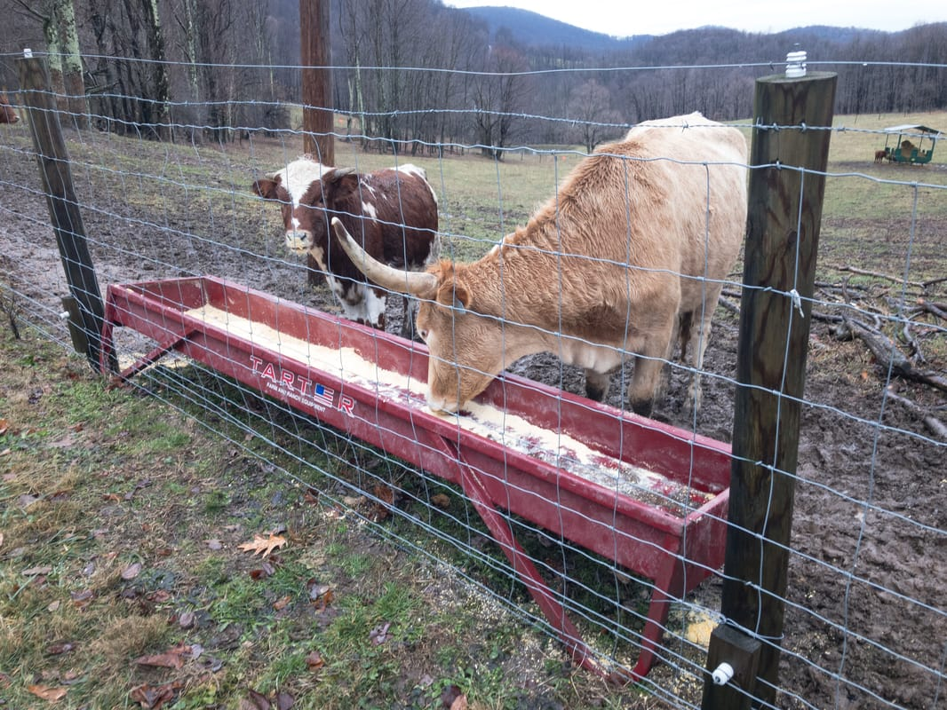Blog Archives - RAISING TEXAS LONGHORN CATTLE IN WEST VIRGINIA